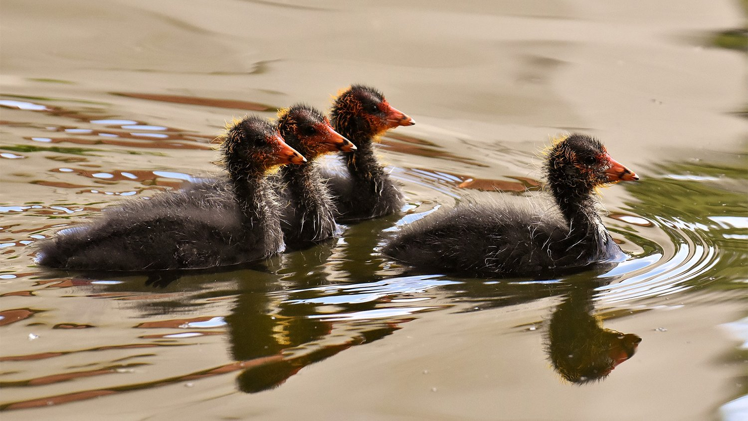 Four baby coots swimming, one of them is leading the other three who are in a row