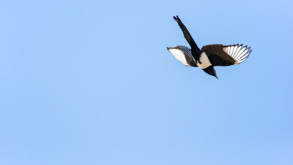 A magpie in flight against a bright blue sky